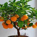 Цитрусовые деревья и уход за ними с фото