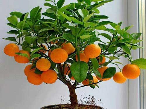 омашнее цитрусовое дерево с ароматными цветами