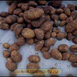 Галилео. Урожай картошки