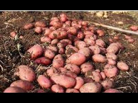 Как сажать картофель, чтобы получить большой урожай?