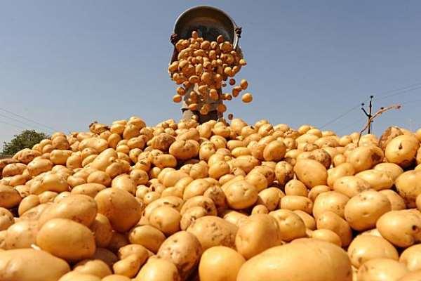 Как выращивать большой урожай картофеля у себя в огороде