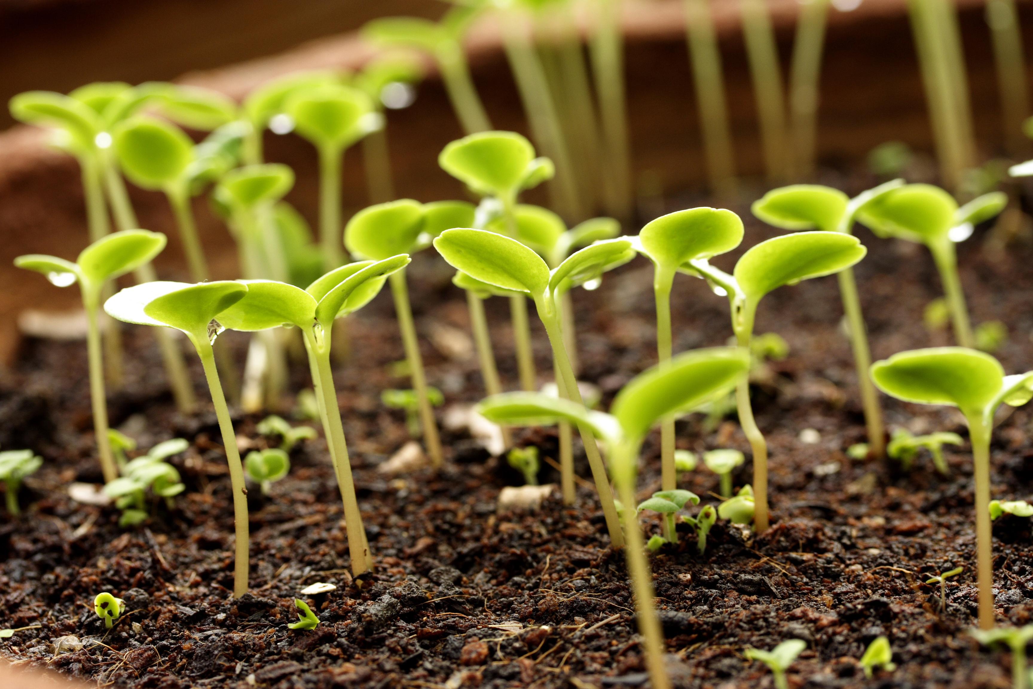 Как посеять и высадить рассаду в грядки