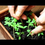 Рассада томатов: от всходов до пикировки