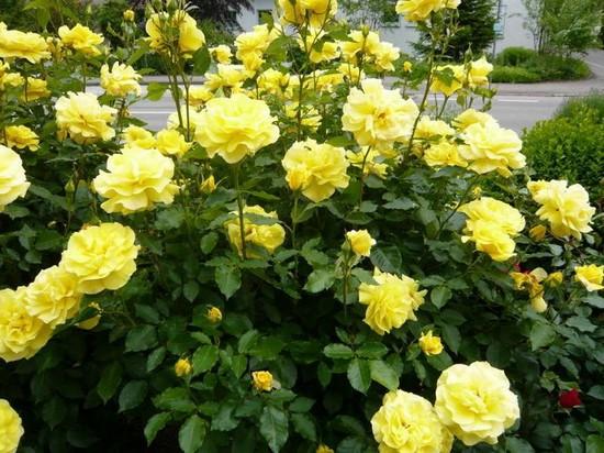 Канадские парковые розы - посадка, уход, сорта фото