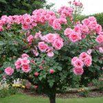 Канадские парковые розы. Сорта, Отзывы, Фото