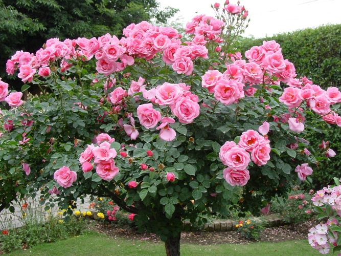 Канадские парковые розы