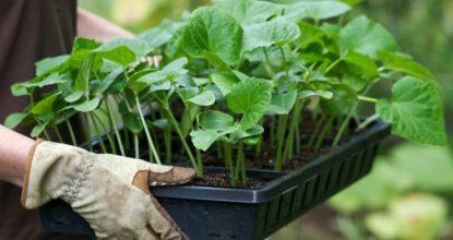 Как сеять и высаживать рассаду в грядки