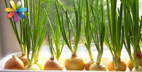 Как собрать максимальный урожай лука у себя на подоконнике?