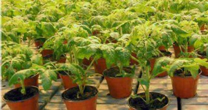 Выращивание рассады помидор скоростным методом