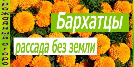 РАССАДА БАРХАТЦЕВ БЕЗ ЗЕМЛИ