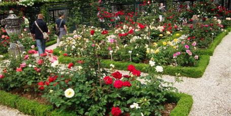 Как вырастить розы у себя на огороде?