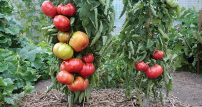 Супер урожай привитых овощей. Помидоры, баклажаны, перец
