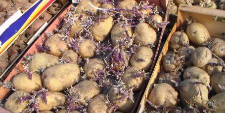 Высокий урожай картофеля, способ выращивания.
